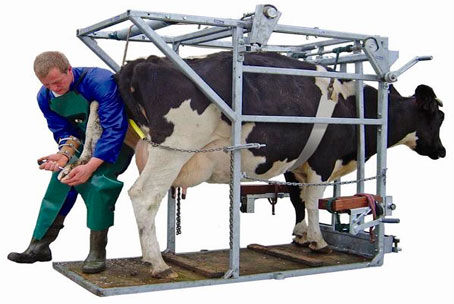 Послуги по розчистці ратиць у молочних корів