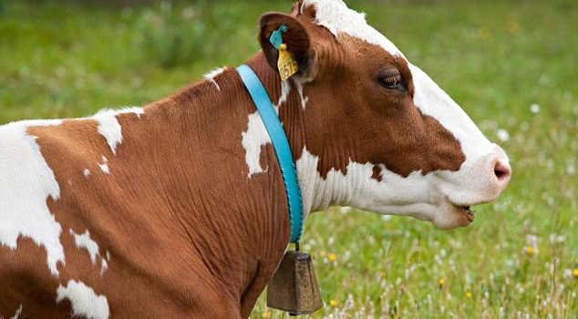Каталог быков— производителей