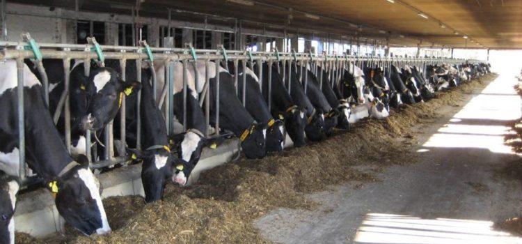 Профілактика післяпологового парезу і гігієна доїння молочних корів